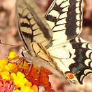 Phone & Pod Case - Swallowtail Butterfly On Flower by Francis Drake