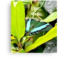 Green Banded Peacock Butterfly Canvas Print