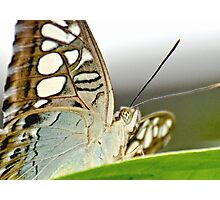 Clipper Butterfly Photographic Print