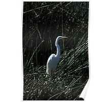 Great White Heron in Reeds Poster