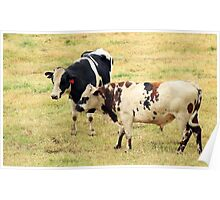 Bulls in a Pasture Poster