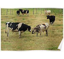 Bulls on a Farm Poster