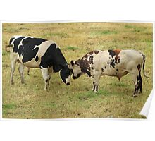 Bulls Squaring Off in a Pasture Poster