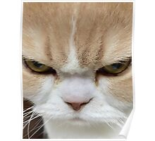 Cute Angry Kitten Poster