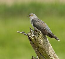 Cuckoo male by Trevsnature