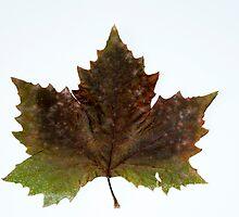 Autumn tree leaf by arnau2098