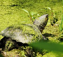 Snapping Turtle & Frog Tanning. by Linda Gleisser