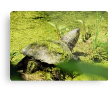 Snapping Turtle & Frog Tanning. Metal Print