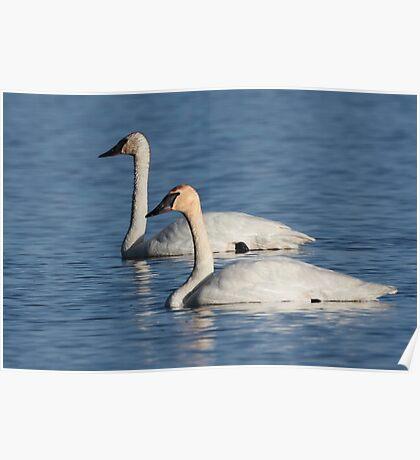 Trumpeter Swan Mates #4 Poster