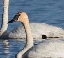Trumpeter Swan Mates #4 Sticker
