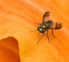 Condylostylid Long-legged Fly by Otto Danby II
