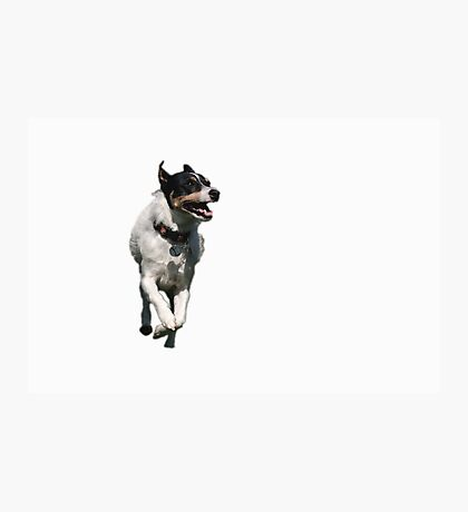 Jack Russel Terrier Dog Photographic Print