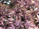 Japanese Maple by Susan S. Kline