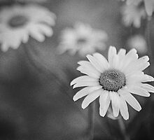 Daisies by Lev4