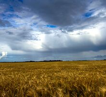 Fields of Barley by David Mapletoft