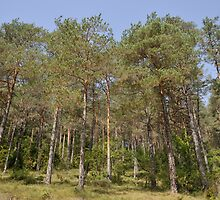 trees in the forest by arnau2098