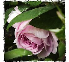 Pink Rose Bloom Photograph Art Print Photographic Print