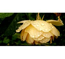 Yellow Rose After a Rain Photographic Print