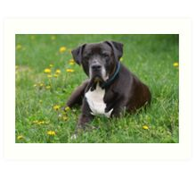 American Pitt Bull Terrier Art Print