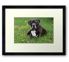 American Pitt Bull Terrier Framed Print