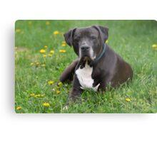 American Pitt Bull Terrier Metal Print