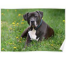 American Pitt Bull Terrier Poster
