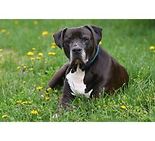 American Pitt Bull Terrier Photographic Print