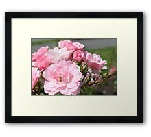 pink wild rose flowers picture.  Framed Print