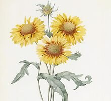 Vintage three sunflowers botanical illustration by P.J. Redoute by naturematters