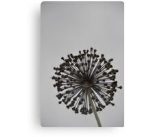 Black Allium Canvas Print
