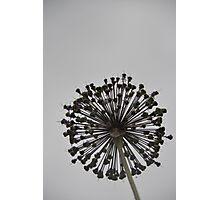 Black Allium Photographic Print