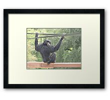 Swinging Siamang Framed Print