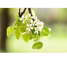 Cherry or Apple Flowers Photographic Print