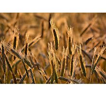 Dewy Spikes Photographic Print
