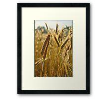Ripening Wheat Framed Print