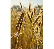 Ripening Wheat Photographic Print
