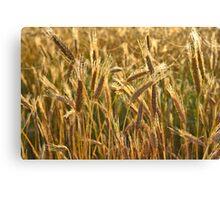 Ripening Wheat Field Canvas Print