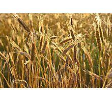 Ripening Wheat Field Photographic Print