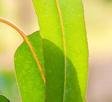 Eucalypt leaves by Morag Anderson