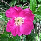 Wild Pink Rose by Shulie1