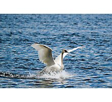 Swan Trail Photographic Print