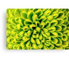 Chrysanthemum green flower closeup, abstract background Canvas Print