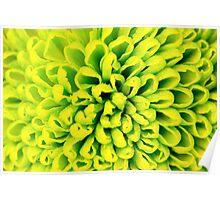 Chrysanthemum green flower closeup, abstract background Poster