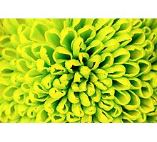 Chrysanthemum green flower closeup, abstract background Photographic Print