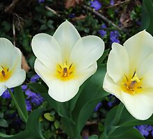 White Tulips and Vinca by Kathleen Brant