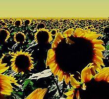 Sunflower Field by jperk