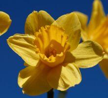 Spring Daffodils Sticker