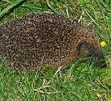 Mrs Tiggywinkle by VoluntaryRanger