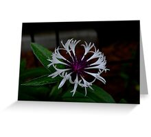 White and Purple Bachelor Button Greeting Card