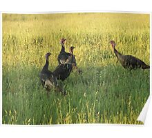 A Group Of Wild Turkey's                 Pentax X-5 Series 16 MP Poster